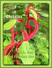 Frieden / Peace (Martin Volpert) Tags: flower fleur peace jesus flor pflanze frieden bible blomma christianity blume fiore bibel blomster virg christus lore biblia bloem blm iek floro kwiat flos euphorbiaceae ciuri glaube bijbel kvet kukka cvijet flouer glauben christentum blth cvet zieds katzenschwanz is acalyphahispida floare  blome iedas bibelverskarte mavo43 epheser217