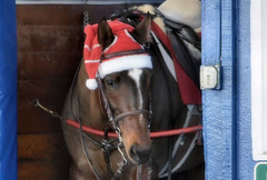 2015-12-19 (45) r7 outrider pony with a cap (JLeeFleenor) Tags: horses caballo cheval photography md photos uma hats maryland racing cal cavallo cavalo pferd equestrian kuda alogo equine hest thoroughbreds soos hevonen cuddy paard paddock cavall kon koin laurelpark  hst ceffyl   ko faras hestur  outrider perd  konj    capall beygir yarraman pfeerd marylandhorseracing marylandracing