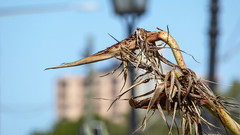 Dried Paradise (Theen ... busy) Tags: street flowers blue sky plant buildings garden lumix bokeh streetlamps front palm birdofparadise adelaide lamps dried seedpods northterrace theen ayershouse