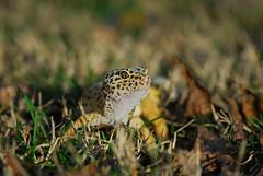 leopard gecko 2 (jerry425630) Tags: leopardgecko nikon70210f4seriese