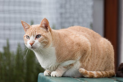 Stanley (No_Water) Tags: red white cat deutschland ginger tiger stanley badenwrttemberg ebersbachanderfils