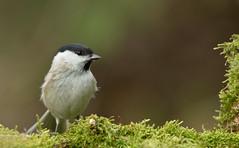 weidenmeise2 (Iris_1406) Tags: meise paridae parusmontanus singvogel singvgel standvogel sperlingsvogel mnchsmeise jahresvogel