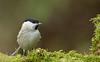 weidenmeise2 (Iris_1406) Tags: meise paridae parusmontanus singvogel singvögel standvogel sperlingsvogel mönchsmeise jahresvogel