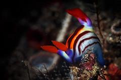Nembrotha aurea (Luko GR) Tags: bali macro indonesia outdoors underwater critter diving nudibranch muck seaslug nembrothaaurea