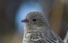 Portrait Roselin Familier | Femelle (staubin.gabriel) Tags: portrait bird oiseau familier roselin femelle