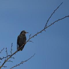 Starling 2 (rq uk) Tags: rquk nikon d750 bird sunny morning starling wokingham tamronspaf150600mmf563divcusd nikond750