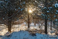 Sun Under Pines (kevin-palmer) Tags: statepark trees winter light sunset sun sunlight snow cold gold golden evening illinois january clear 2016 kevinpalmer bannermarsh statewildlifearea tamron2470mmf28 nikond750