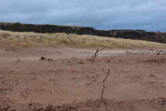Shifting Sands,Sands of St Cyrus,St Cyrus National Nature Reserve_jan 16_677 (Alan Longmuir.) Tags: aberdeenshire grampian blowingsand stcyrus shiftingsands sandsofstcyrus stcyrusnationalnaturereserve