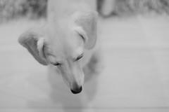 IMG_1914 (yukichinoko) Tags: dog dachshund 犬 kinako ダックスフント ダックスフンド きなこ