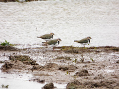 Lapwing at Rainham Marshes