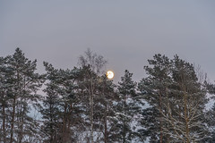 Winter Moon (AudioClassic) Tags: winter sunset sky sun sunlight moon white snow plant color tree horizontal pine forest woodland river season photography dawn evening estonia grove nopeople sunbeam sprucetree coldtemperature sunrisedawn