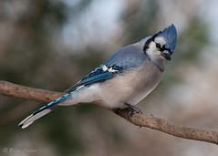Bluejay Looking Back (bmcvisions) Tags: outdoors nikon wildlife birding audubon d300 nikon300mm