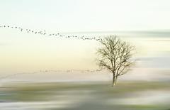 Pjaros de ida y vuelta (Inmacor) Tags: tree nature birds landscape arbol paisaje pjaros desenfoque minimalismo almenara bandada ltytr1 inmacor