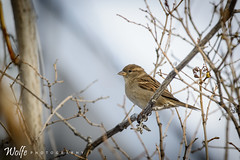 waiting for the snow to melt (Aaron_Smith_Wolfe_Photography) Tags: winter snow bird nevada sierra sparrow carsoncity