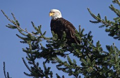 Bald Eagle (jerrygabby1) Tags: