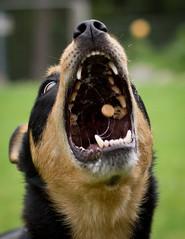 Warren Purnell-3325 (wozzinozz) Tags: dog biscuit catch kelpie