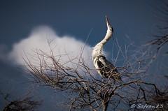 grey heron (safran83) Tags: cloud bird heron grey nuage oiseau hron cendr