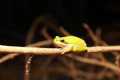 Eastern Dwarf Tree Frog - Litoria fallax (cramptonnic) Tags: photography amphibian frog treefrog litoria wildlifephotography litoriafallax easterndwarftreefrog