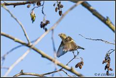 _DSC0143 Tarin des Aulnes (patounet53) Tags: bird oiseau eurasiansiskin carduelisspinus tarindesaulnes fringillids passriformes