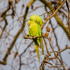 A Pair of Ring-Necked Parakeets in Regent Square, London