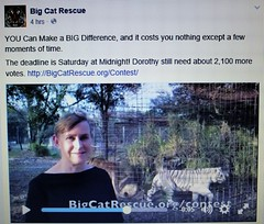 Urgent! Final chance to vote for big cats (not a box brownie) Tags: rescue usa cats canada animal animals cat kitten feline tiger unitedstatesofamerica lion kittens competition leopard jungle tigers lions pumas cheetah panthers jaguar liger puma bobcat bengals wildcat vote panther cougar bengal sanctuary lynx ocelot serval caracal cheetahs cougars savannahs bobcats wildcats leopards servals tigrina ocelots margay jaguarundi pixiebobs bigcatrescueorg guigna chausies safaricats margays