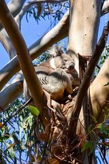 Kangaroo Island, Australia. (RViana) Tags: koala australien australie oceania coala     ozeanien  ocanie  oceanien   oseania