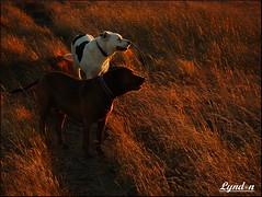 Golden Grass (Lyndon (NZ)) Tags: newzealand dog nature grass animal hope golden dusk nz aotearoa zeb castlepoint wairarapa