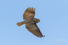 Great Horned Owl flyby sequence - 4 of 10