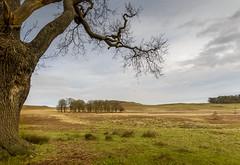 Bradgate Oak (John__Hull) Tags: wood trees winter nature landscape countryside oak nikon leicestershire breath sigma filter bracken ferns taking 1020mm newtown bradgate linford ndgrad d3200