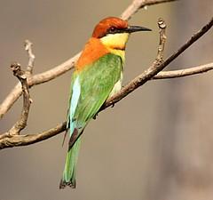 2014 03 CHITWAN (NEPAL)_70213Rr Gupier de Leschenault (Merops leschenaulti) (chamane45) Tags: nepal bird oiseau chitwan pjaro chestnutheadedbeeeater gupier abejarucocabecirrufo