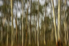Knowsley State Forest (phunnyfotos) Tags: park trees light summer color colour forest bush nikon reserve australia victoria motionblur treetrunk d750 vic icm eucalypts knowsley gumtrees earlymorninglight stateforest crownland phunnyfotos knowsleystateforest nikond750