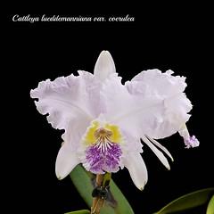 Cattleya lueddemanniana var. coerulea 'Indore' x self (emmily1955) Tags: orchids cattleya coerulea