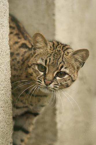 Leopardus geoffroyi - Geoffroy's Cat