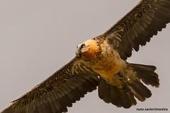 Quebra-ossos, Bearded vulture(Gypaetus barbatus) (xanirish) Tags: vulture bearded barbatus lammergeier beardedvulture gypaetusbarbatus gypaetus quebraossos
