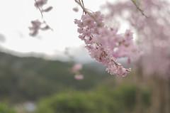 Hanami (Sam-in-Japan) Tags: flowers nature festival japan rural cherry japanese countryside spring blossom hana sakura hanami nakatsu oita inaka