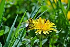 bee in yellow pollen DSC_1049 (Me now0) Tags: bee  1855mmf3556 yellowpollen nikond5300 5300