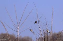 3 Chardonnerets lgants... (Crilion43) Tags: france nature divers ciel arbres elegant nuages paysage objet oiseaux bleue msange charbonnire carduelis chardonneret