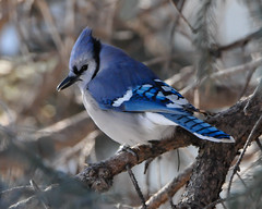 My Favorite Color... (ragtops2000) Tags: blue winter portrait white black detail tree pose nikon nebraska colorful branches january bluejay evergreen western