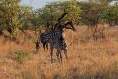 Steppenzebra (Equus quagga) - Okavango, Namibia (Nov. 2015) (anschieber | niadahoam.de) Tags: zebra namibia caprivi 2015 okavangodelta plainszebra burchellszebra bontkwagga afrikaafrica steppenzebraequusquagga 201511 namibia2015 20151115