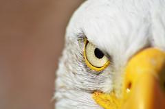 DSC_5620_edit (RonIncognito) Tags: baldeagle neverland birdofprey falconry fuckyeah murica larum