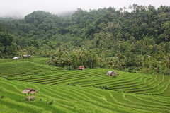 Perfect paddy (Huub Pics) Tags: bali rice paddy exploring wanderlust backpacking ricefield singaraja sambangan