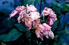 Autumn (Bitbydeadbees) Tags: pink flowers blue autumn green nature leaves death poetry poem natural vine thorns dying shrivel