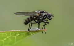 Mosca parada (JoseQ.) Tags: verde animal hojas nikon sigma campo mosca insecto macrofotografia