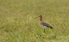 Grutto - Black-tailed godwit (aaronmeijer2) Tags: bird animal canon eos castricum uitgeest wader godwit wildlifephotography 450d castricummerpolder