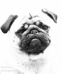ralph (danny williams1) Tags: blackandwhite dog dogs animals photography eos eyes pug pugs eos50d