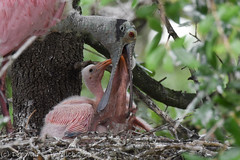 How about some nice regurgitated food, kids? (dbifulco) Tags: bird nature babies florida wildlife behavior staugustine rookery interaction roseatespoonbill nestlings alligatorfarm bobb2016