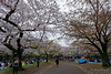 20160405-064-Picnics under Yoyogi-koen cherry blossoms (Roger T Wong) Tags: travel people holiday japan garden balloons tokyo spring picnic crowd harajuku cherryblossoms canonef1740mmf4lusm yoyogikoen 2016 canon1740f4l canoneos6d rogertwong