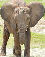 F5K_8662 (68photobug) Tags: rescue usa animals tampa zoo education nikon cows florida dumbo bulls exotic elephants nikkor 28300mm rehab tusker lowryparkzoo d7000 68photobug