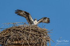 Osprey returns from Home Depot sequence - 21 of 27