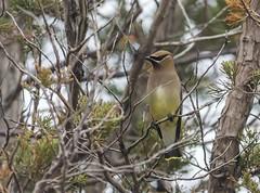Cedar Waxwing (swmartz) Tags: nature birds outdoors newjersey nikon cedarwaxwings
